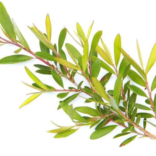 tea tree 500x500px
